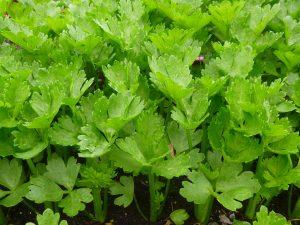 celery-639899_1920