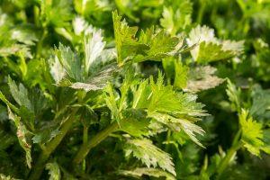 celery-753293_1280