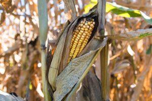 corn-1190956_1920