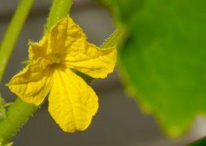 cucumber-flower-1409844