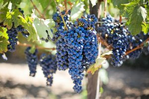 grape-vine-553464_1920