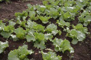lettuce-1073521_1920