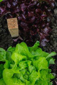 lettuce-116728