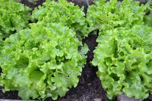 lettuce-1533956_1920