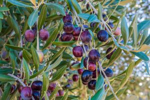 olives-1069920_1920
