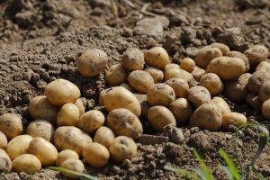 potato-983788_1920