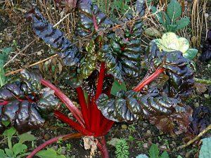 rhubarb-258586_1920