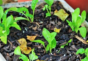 spinach-seedlings