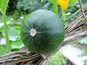 zucchini-1603819_1920